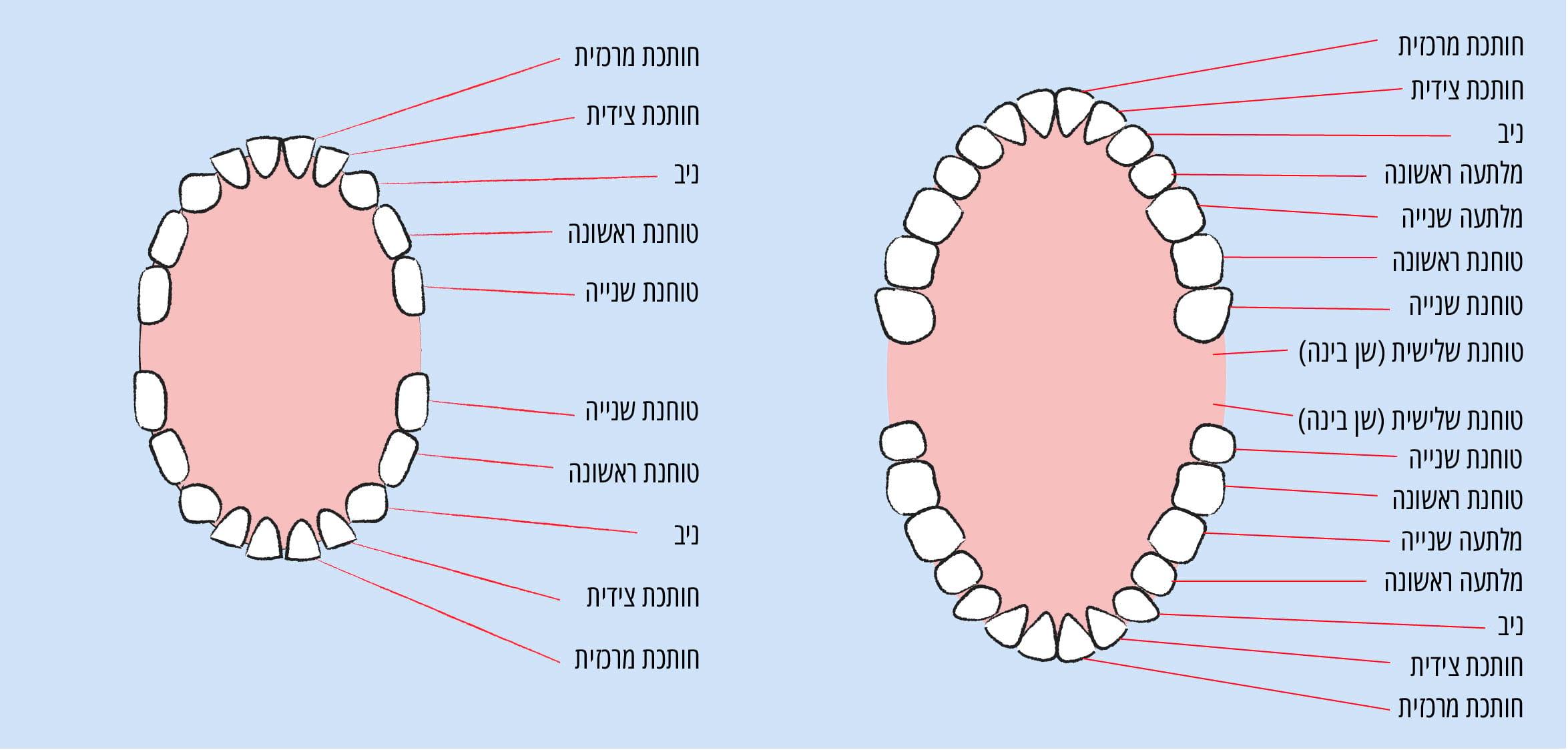 מבנה השיניים של ילדים